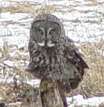 Rare Artic grey owl photographed near Houston, MN, by Rich Middleton