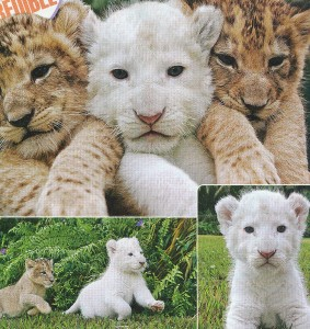 Do I love this? A white phase lion cub with siblings!!!!