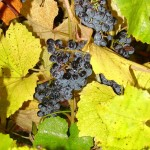 Norton grapes are the signature grape at Missouri Wineries