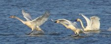 Tundra Swans are beginning to trickle into POOL 8