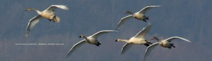 Great Tundra Swans landing