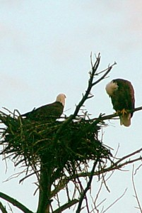 sepia eagles on nest