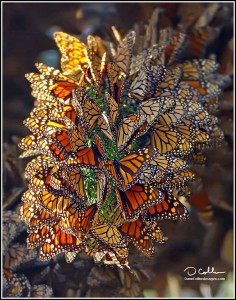 beautiful monarch cluster DAVE COLLINS IMAGE