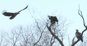 Eagles in trees - Could this be a Golden Eagle on Left