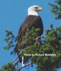 Bald Eagle H